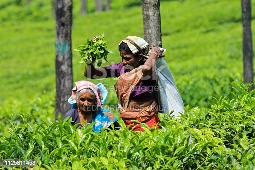04/11/2013 - Ooty TN India : Taken this picture at the tea plantation in hill station of Ooty in southern India of women plucking tea leafs. Women mainly work in the tea plantation and send the collected leafs to factory for processing.