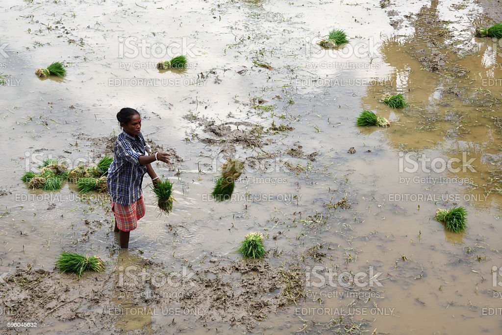 women at work in rice paddy fields royalty-free stock photo