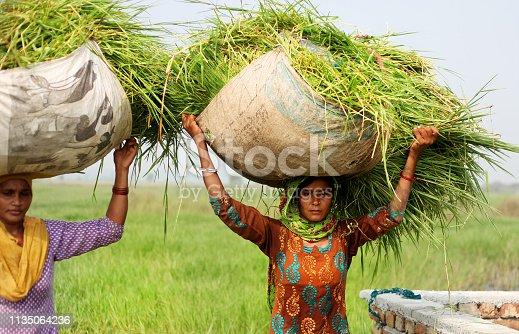 Female farmer carrying grass bundle on the head use as animal food.