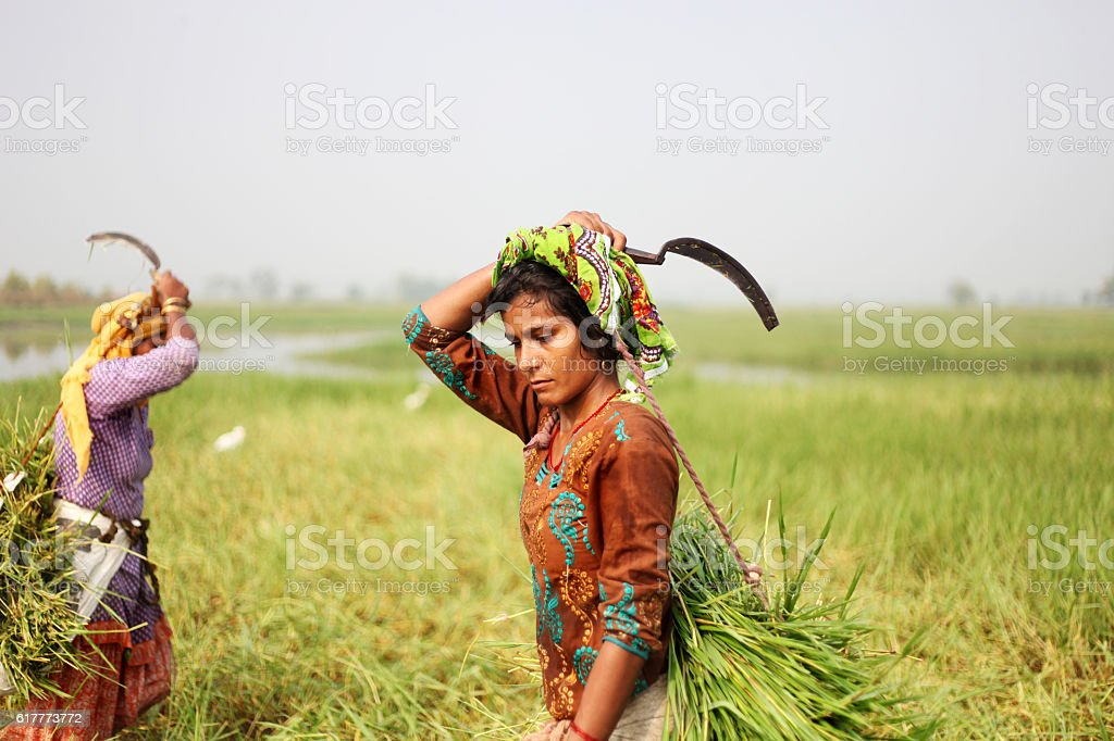 Women Carrying Grass For Domestic Cattle stock photo