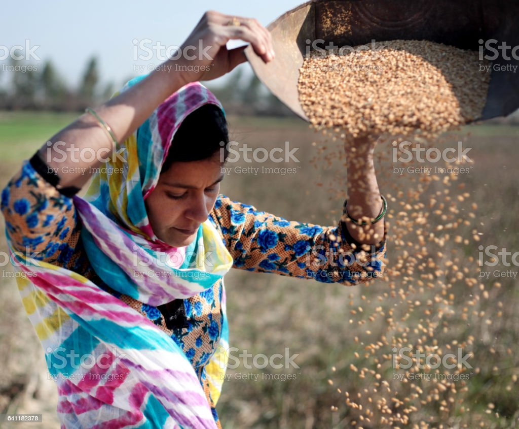Women cleaning wheat stock photo