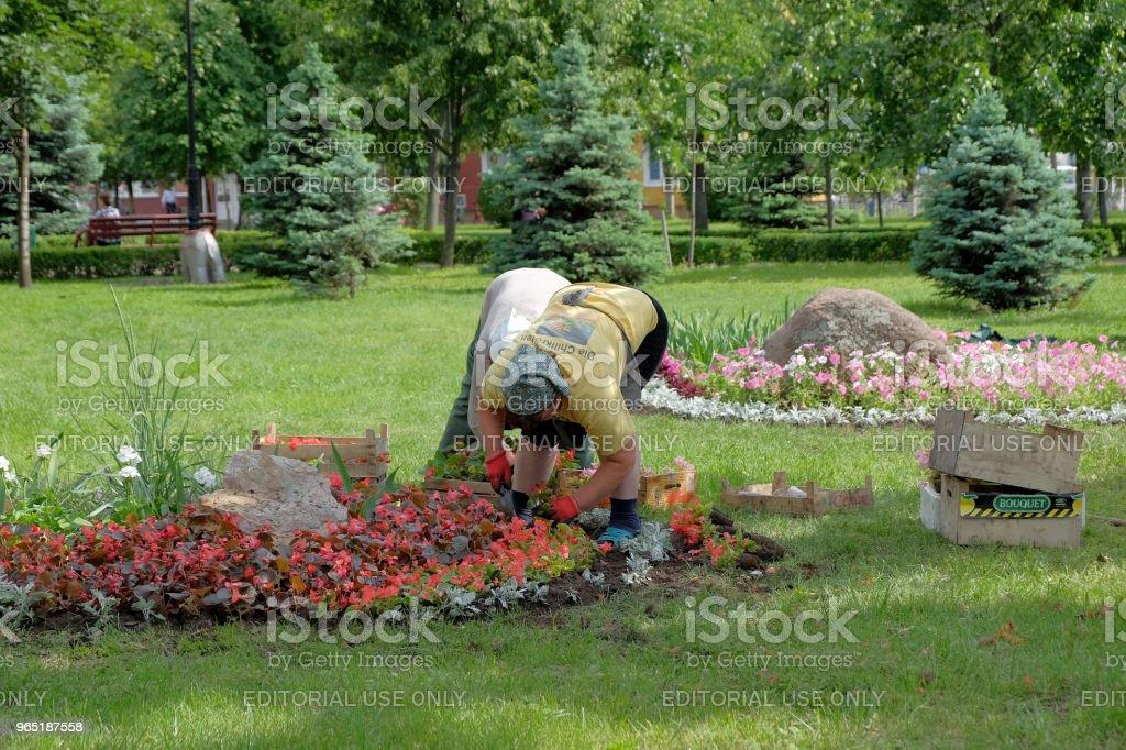 Women from municipal services planting flowers zbiór zdjęć royalty-free