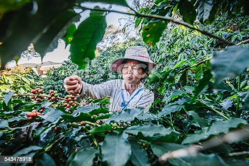 istock Women from Thailand picking red coffee. 543478918