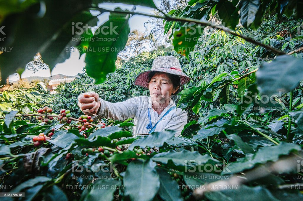 Women from Thailand picking red coffee. stock photo