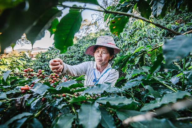 women from thailand picking red coffee. - coffee farmer foto e immagini stock