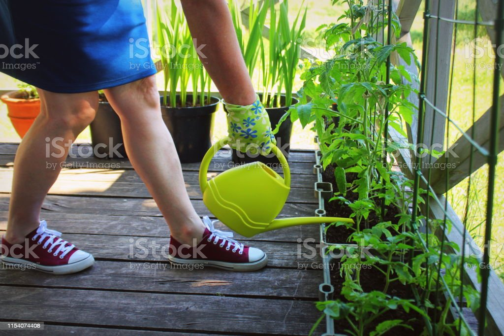 Women gardener watering plants. Container vegetables gardening. Vegetable garden on a terrace. Flower, tomatoes growing in container Women gardener watering plants. Container vegetables gardening. Vegetable garden on a terrace. Flower, tomatoes growing in container . Active Lifestyle Stock Photo
