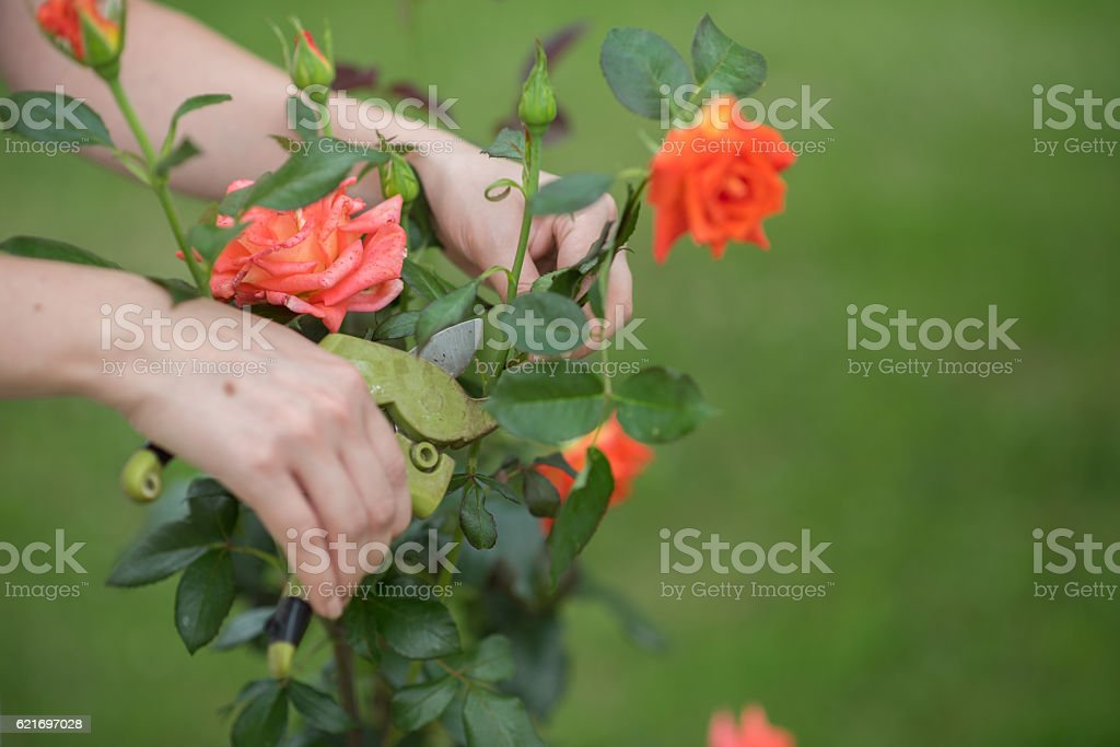 Women hands cutting roses – Foto