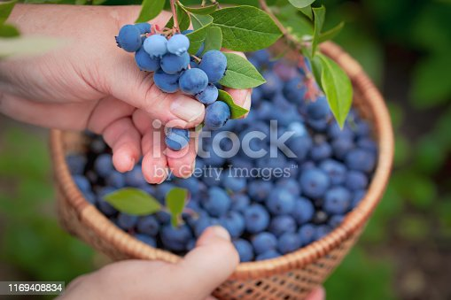 Blueberries picking. Female hand gathering blueberries. Harvesting concept.