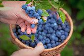 Blueberries picking. Female hand gathering blueberries. Harvesting concept.