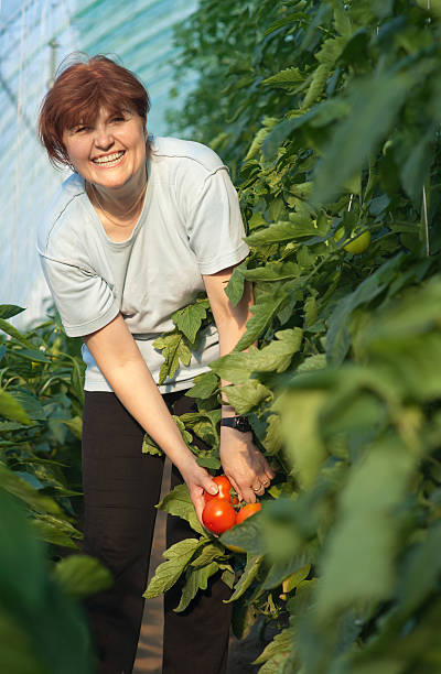 women picked tomatoes women picked tomatoes migratory workers stock pictures, royalty-free photos & images