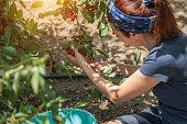 Women picking big cherry from tree