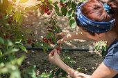 Women picking big matured cherry from tree