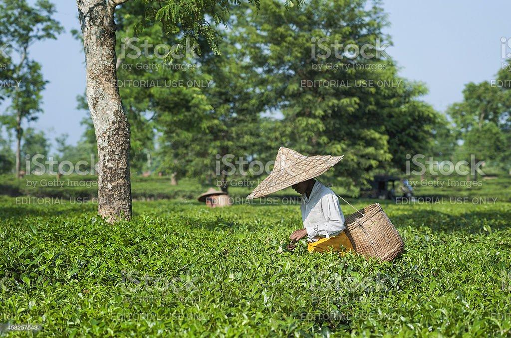 Women picking fresh tea leaves, Jorhat, Assam, India royalty-free stock photo