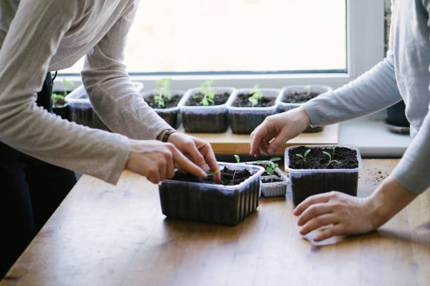 Women planting seedlings indoors Young women planting green seedlings, indoors. potting stock pictures, royalty-free photos & images