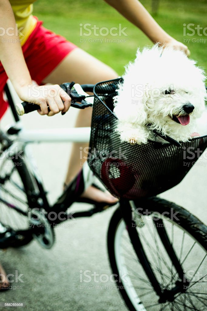 Women ride bike with dog in bicycle basket stock photo