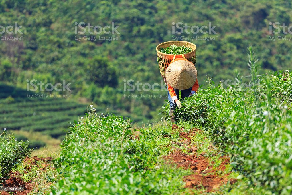 Women with conical hat and bamboo basket harvesting tea leaf stock photo