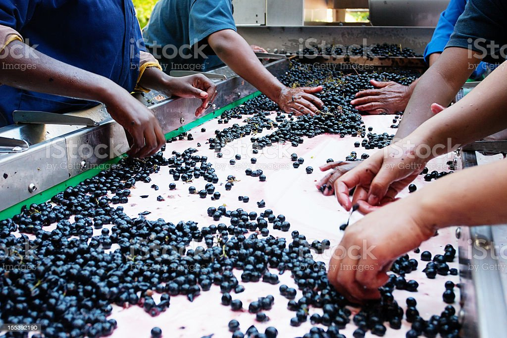 Women workers at a winery sort grapes for pressing royalty-free stock photo