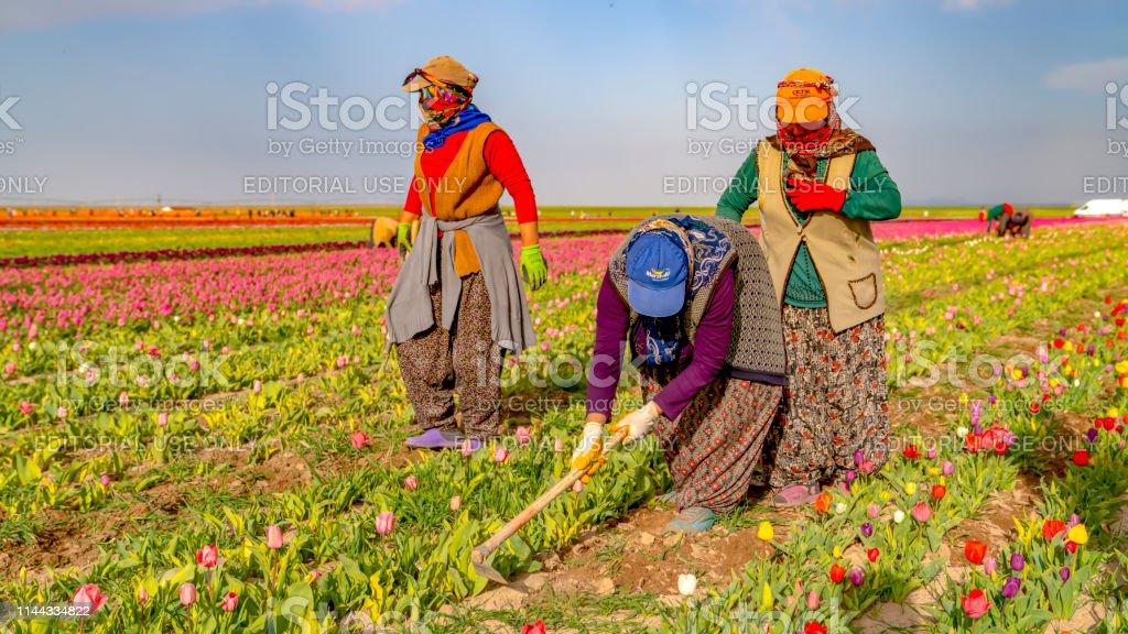 Women workers in tulip fields, tulip farm