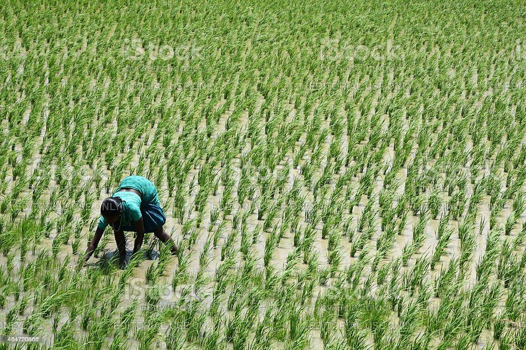 Femme travaillant à la main dans un green paddy field dans le sud de l'Inde. - Photo