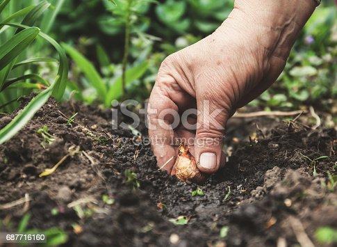 istock Women's hand sadi in soil-soil flower bulbs. Close-up, Concept of gardening, gardening 687716160