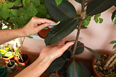 Women's hands clean dust from the leaves of a Ficus Robusta with a wet cotton pad.