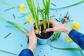 Women's hands planting spring bulbs on a blue background. Gardening concept.