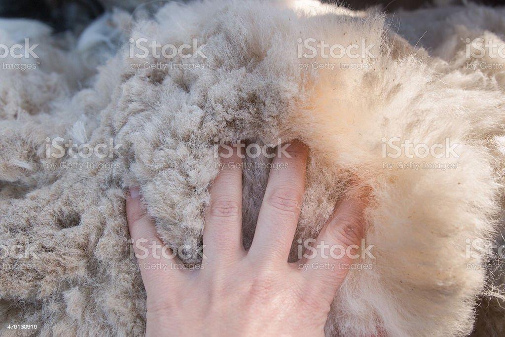 Women's palm on fluffy alpaca fleece foto