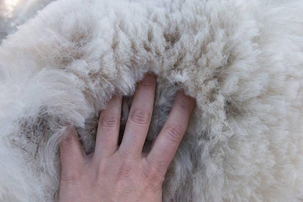 women's palm auf haufen weißer alpaka-fleece - schichthaare stock-fotos und bilder