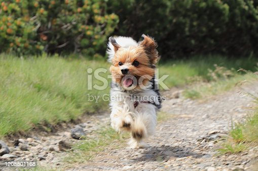 Wonderful Biewer Terrier in run position with tongue out and smile on his face. Pure joy of movement. Tiny devil show us his speed and ability power. Outdoor activities. Race between dogs. Cute puppy.