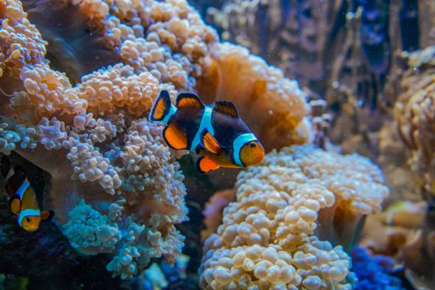 Wonderful clown fish next to corals Picture shows a wonderful clown fish next to corals. nemo museum stock pictures, royalty-free photos & images