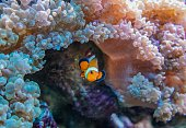 Wonderful clown fish next to corals