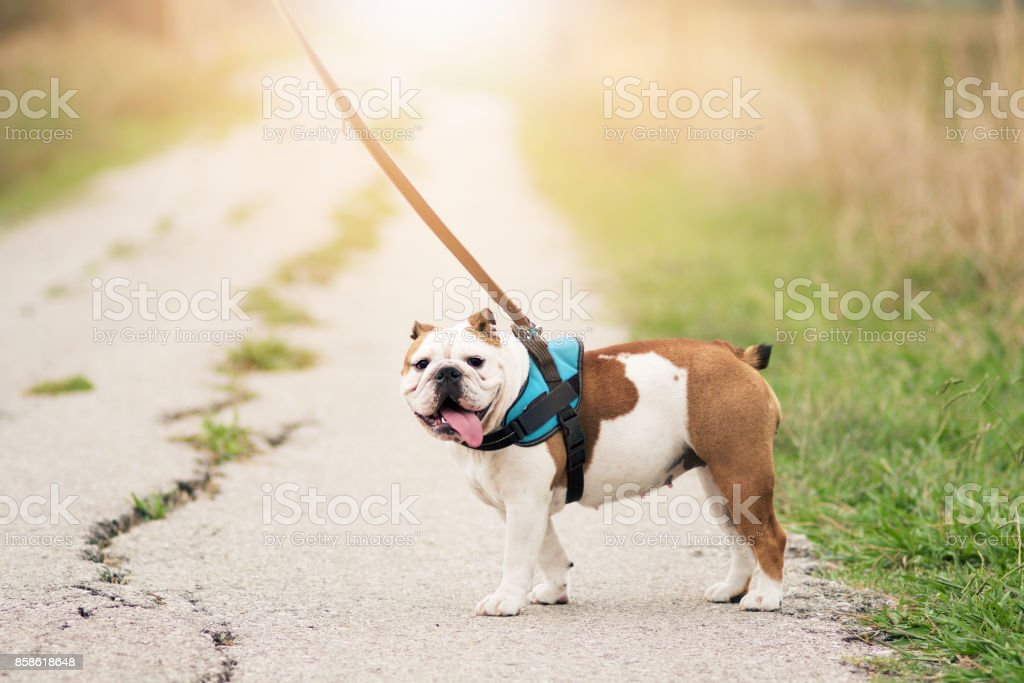 Wonderful English Bulldog at the leash, stationary stock photo