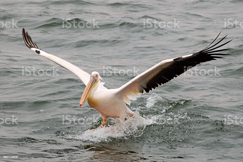 Wonderful landing Pelican in the Walvis Bay in Namibia stock photo