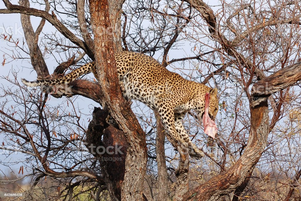 Wonderful Leopard in a tree in Namibia stock photo