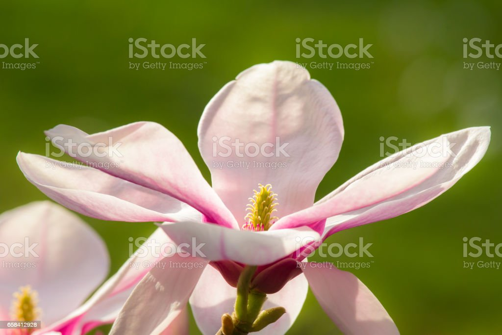 Wonderful magnolia flowers in blossom in spring stock photo