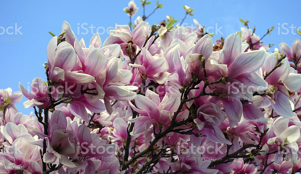 Wonderful magnolia in its full blossom royalty-free stock photo