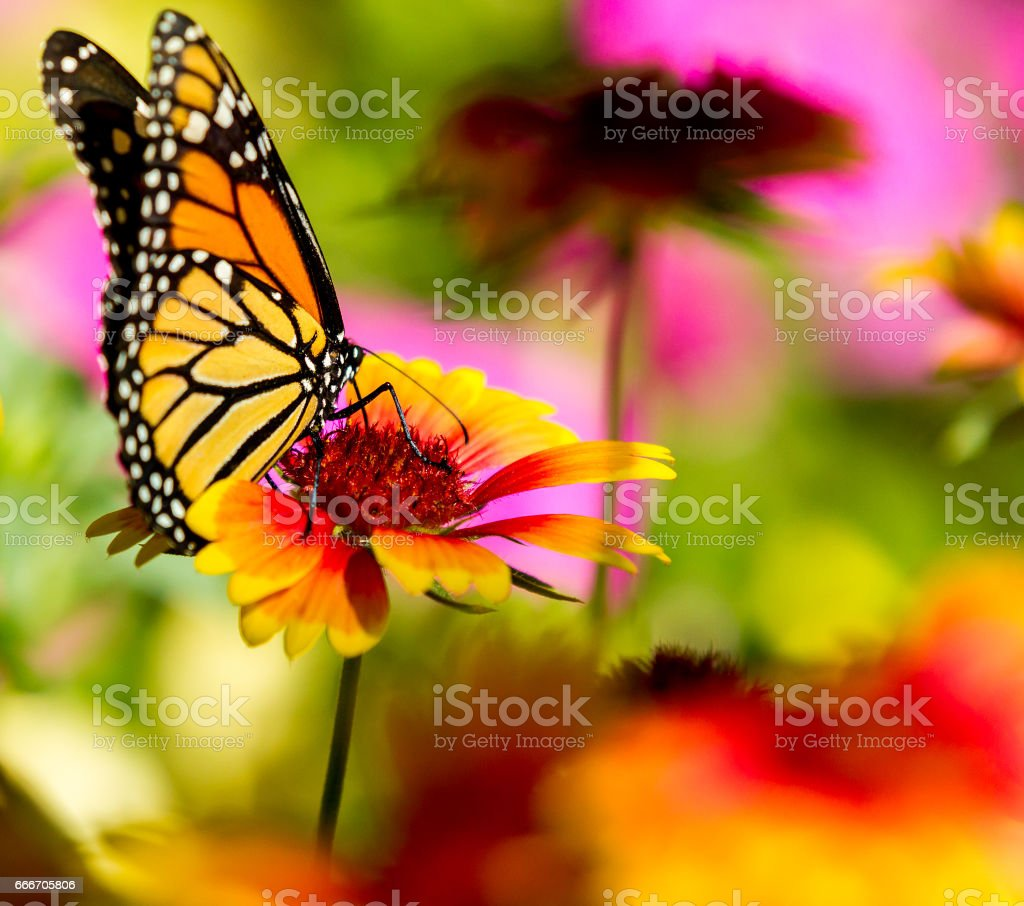wonderful monarch buttefly stock photo