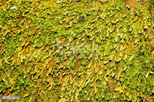 istock Wonderful Moss Texture 923306214