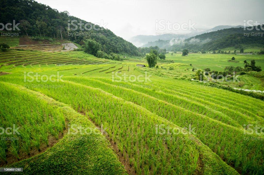 Terrazas De Arroz Maravilloso En Tailandia Foto De Stock Y