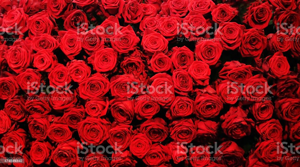 Wonderful Roses stock photo