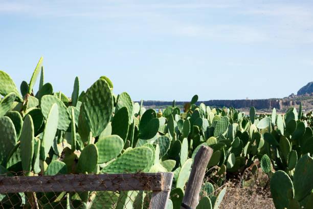 Wonderful Sicilian views with prickly pears – zdjęcie