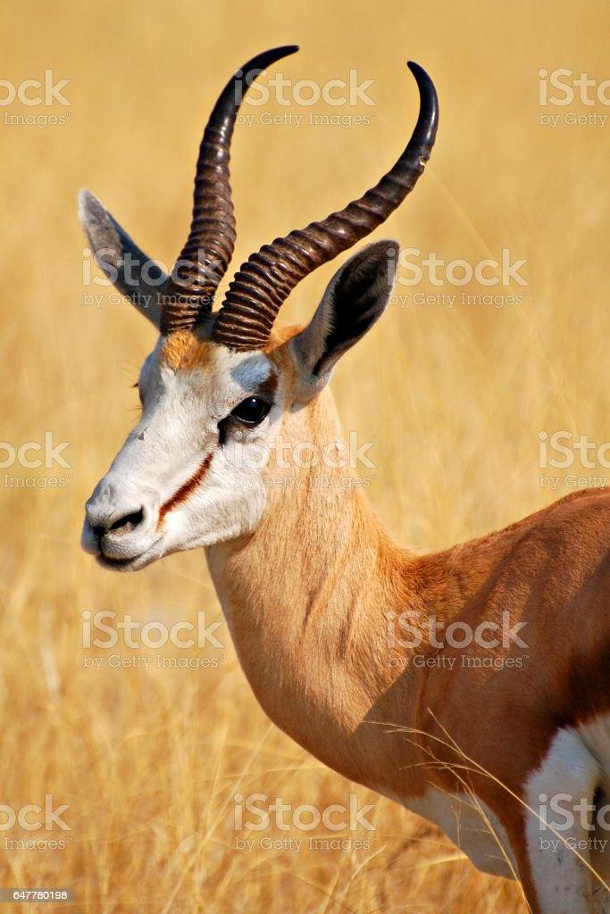 Wonderful Springbok in the Etosha National Park in Namibia stock photo
