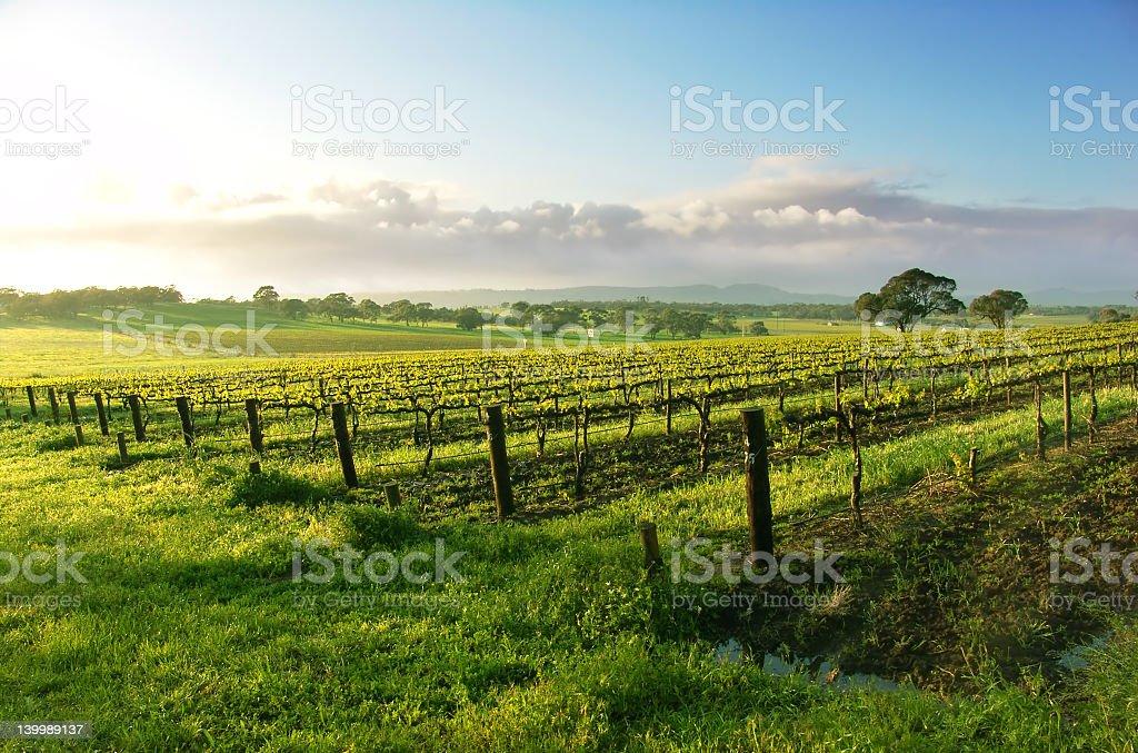 A wonderful vine yard at sun rise royalty-free stock photo