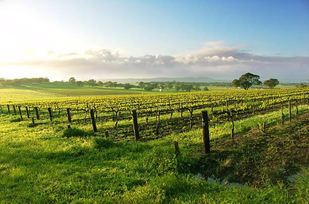 A wonderful vine yard at sun rise stock photo