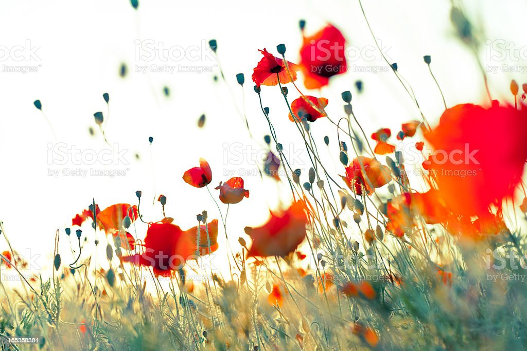 Wonderful weightless red corn poppies royalty-free stock photo