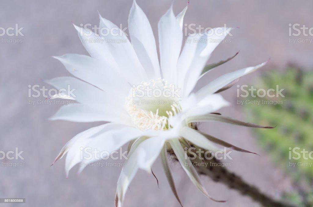 Wonderful white flower of echinopsis cactus on gray concrete background stock photo