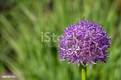 Purple allium in full bloom against a green background