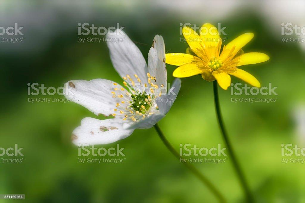 wood anemone and lesser celandine stock photo
