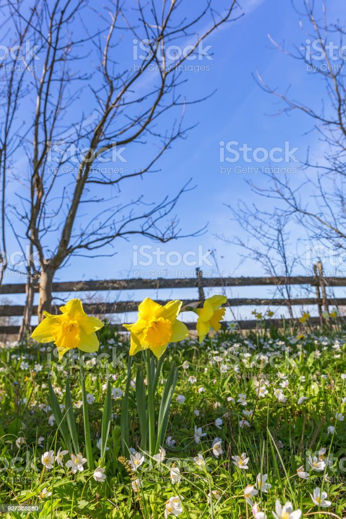 Wood anemone and Wild daffodil in early spring on a meadow stock photo