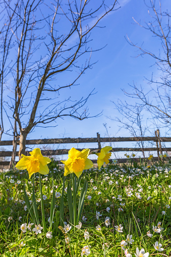 Wood Anemone And Wild Daffodil In Early Spring On A Meadow Stock Photo - Download Image Now